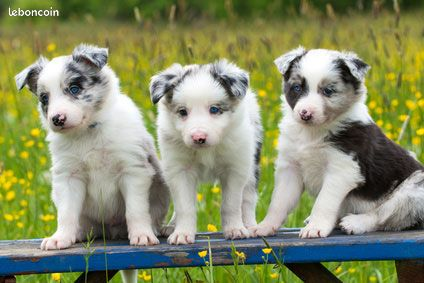 Chiot type border collie non lof