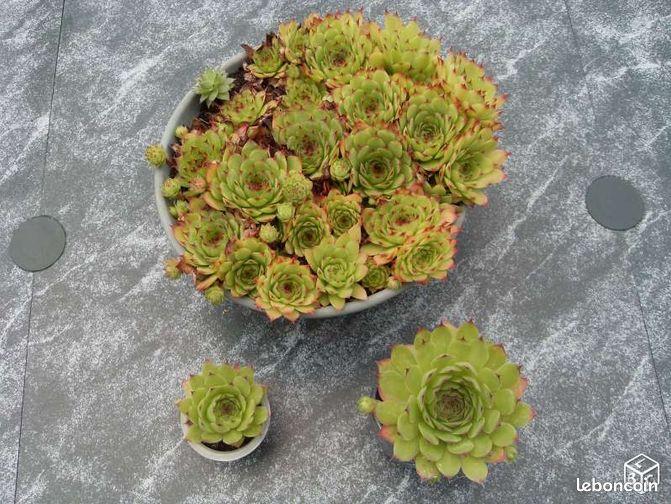 Plantes vivaces la joubarde jardinage nord for Artichaut plante grasse