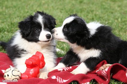 Superbes chiots type border collie non lof