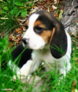Chiots type beagle non lof