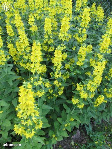 Plante jaune lysinniac jardinage somme for Plante jaune