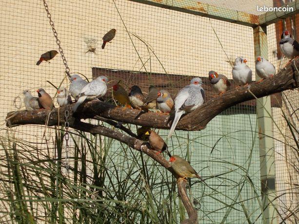 Oiseaux mandarins, perruches calopsites et ondulées, becs de plomb
